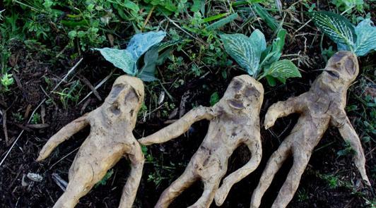 plante a vertu vasodilatateur